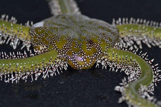 Green Brittle Star