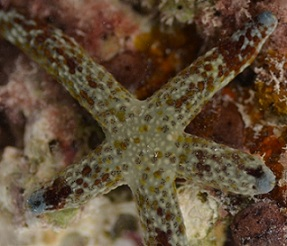Multi-pore Sea Star