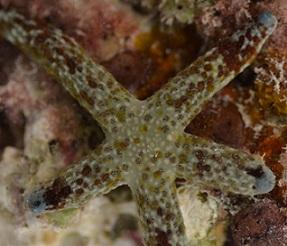 Multi-pore Sea Star