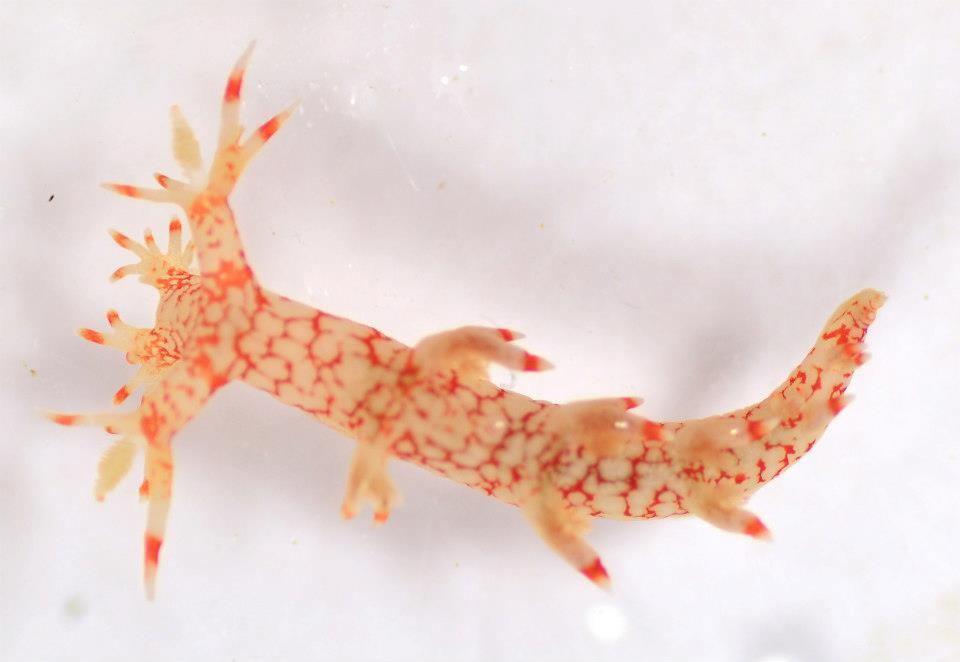 Starry Bornella nudibranch