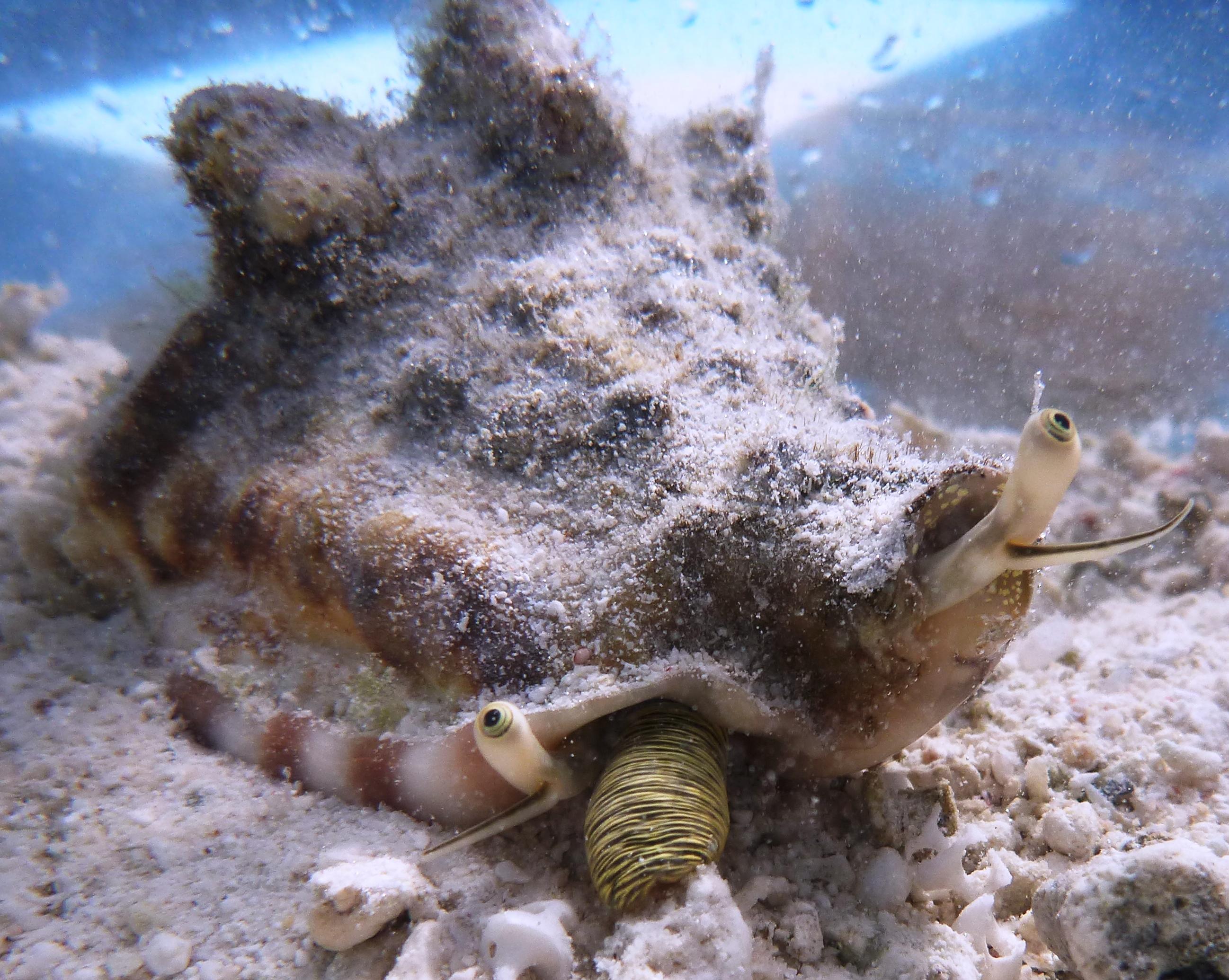 Silver Conch