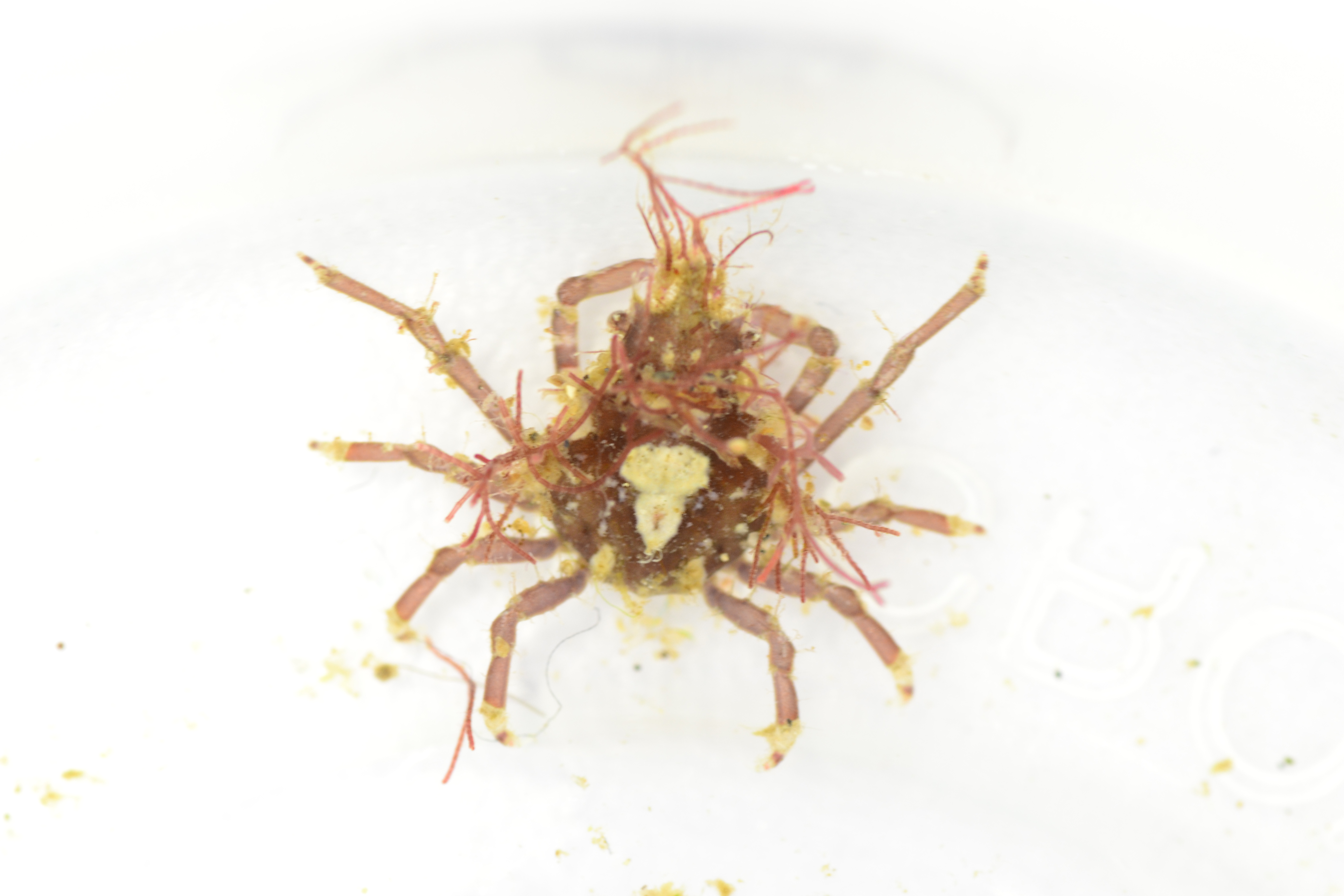Spider crab, Decorator crab