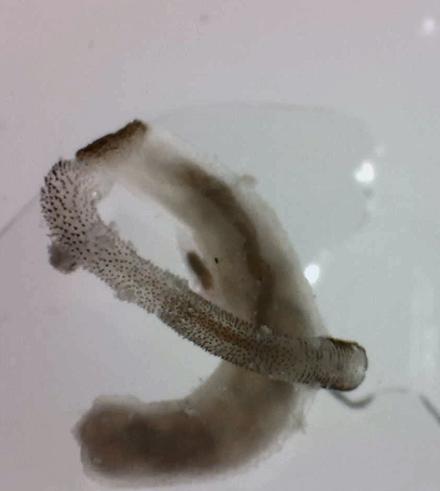 Peanut Worm