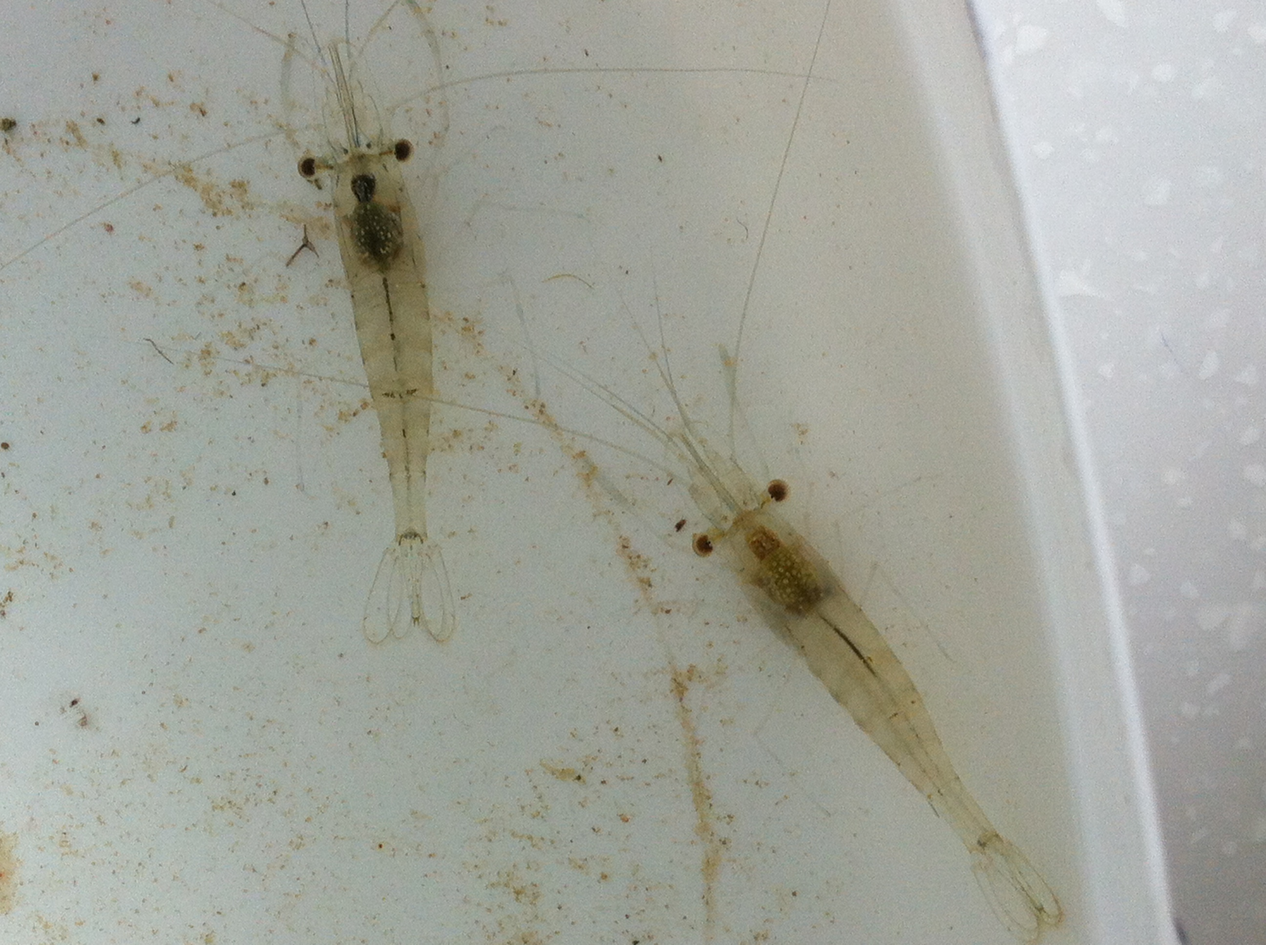 Barred estuarine shrimp
