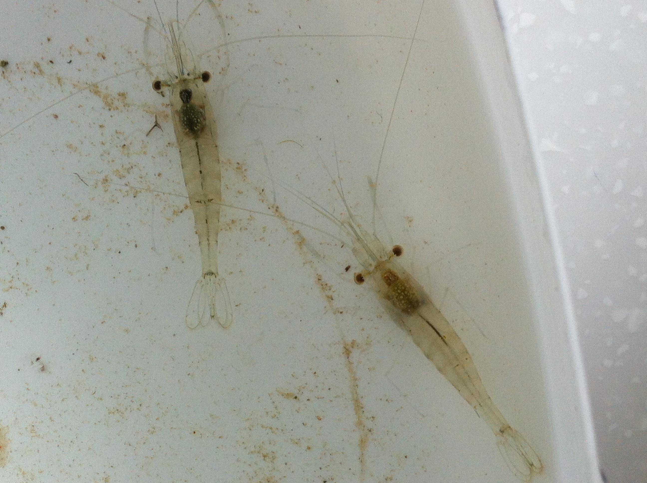 Barred estuarine shrimp