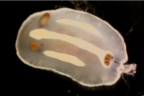Three-lined Pectenodoris