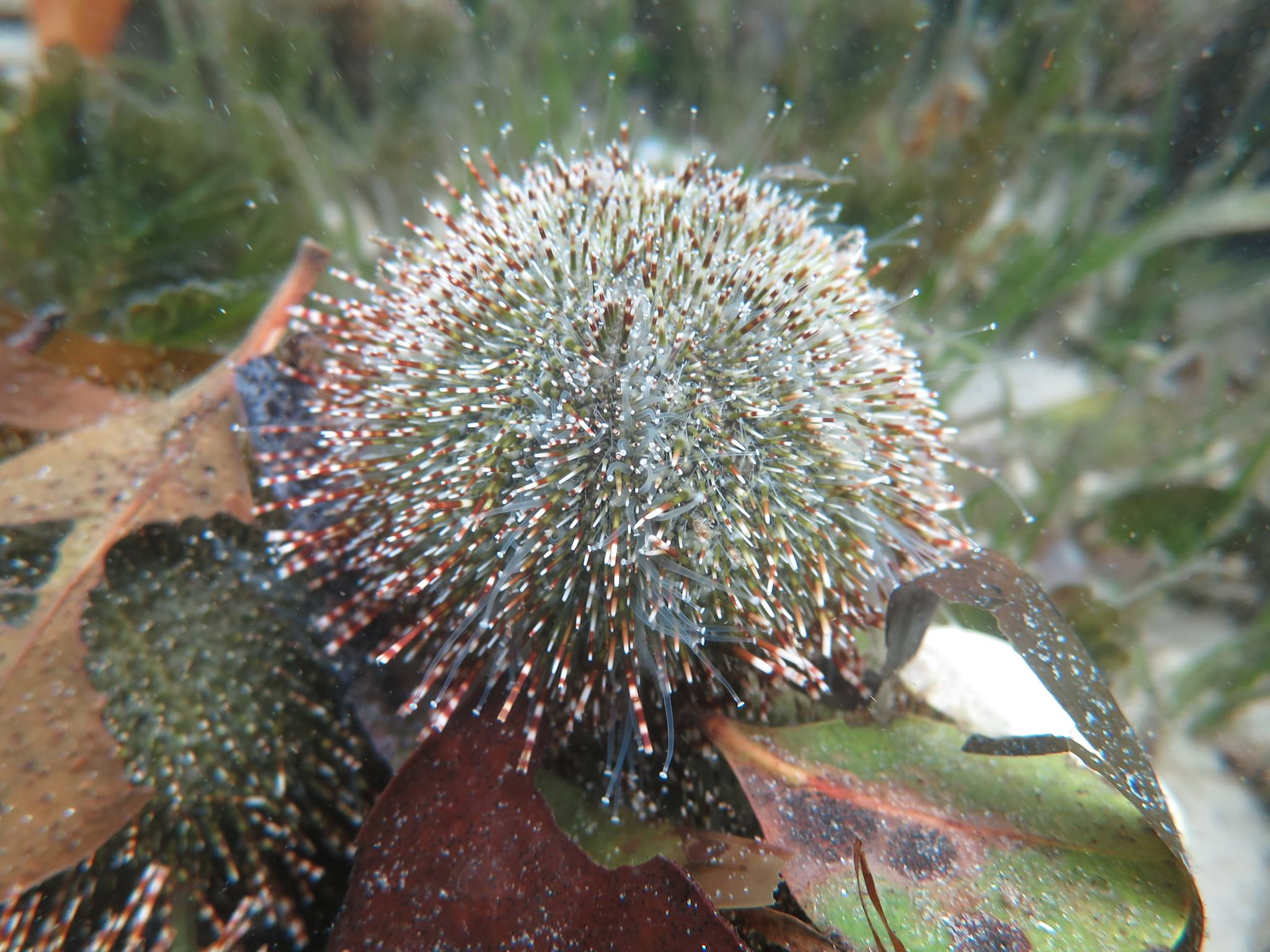 Green Sea Urchin