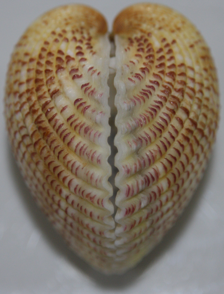 Strawberry Heart Cockle