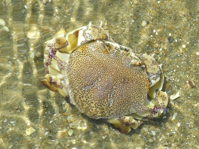 Speckled sand crab
