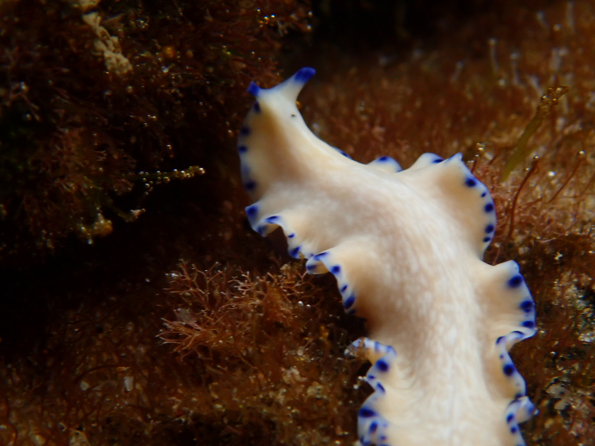 Blue-dot margined Flatworm