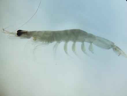 Australian Paste Shrimp