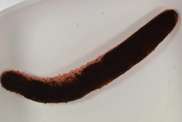 Edible Sea Cucumber