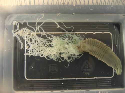 Spaghetti Worm
