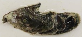 Pacific Toothed Oyster