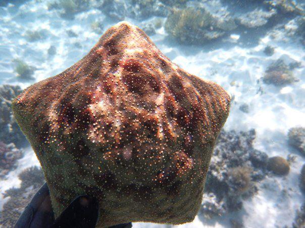 Pincushion Seastar