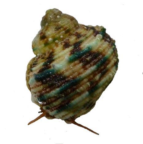 Scaley Turban