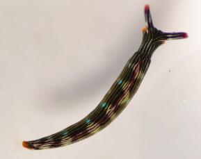 Painted Slug