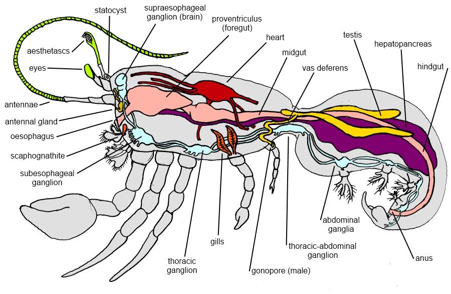 Anatomy of a hermit crab