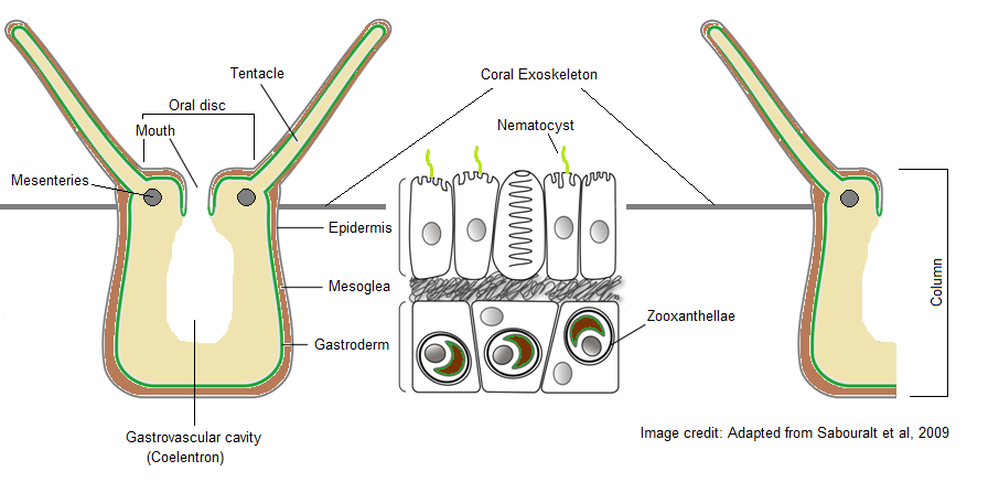 Stylophora Pistillata Alex Coughlan