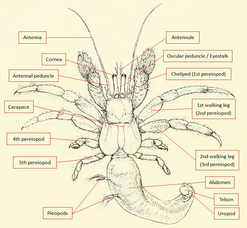 Anatomy Of A Hermit Crab 1454511 Follow4morefo