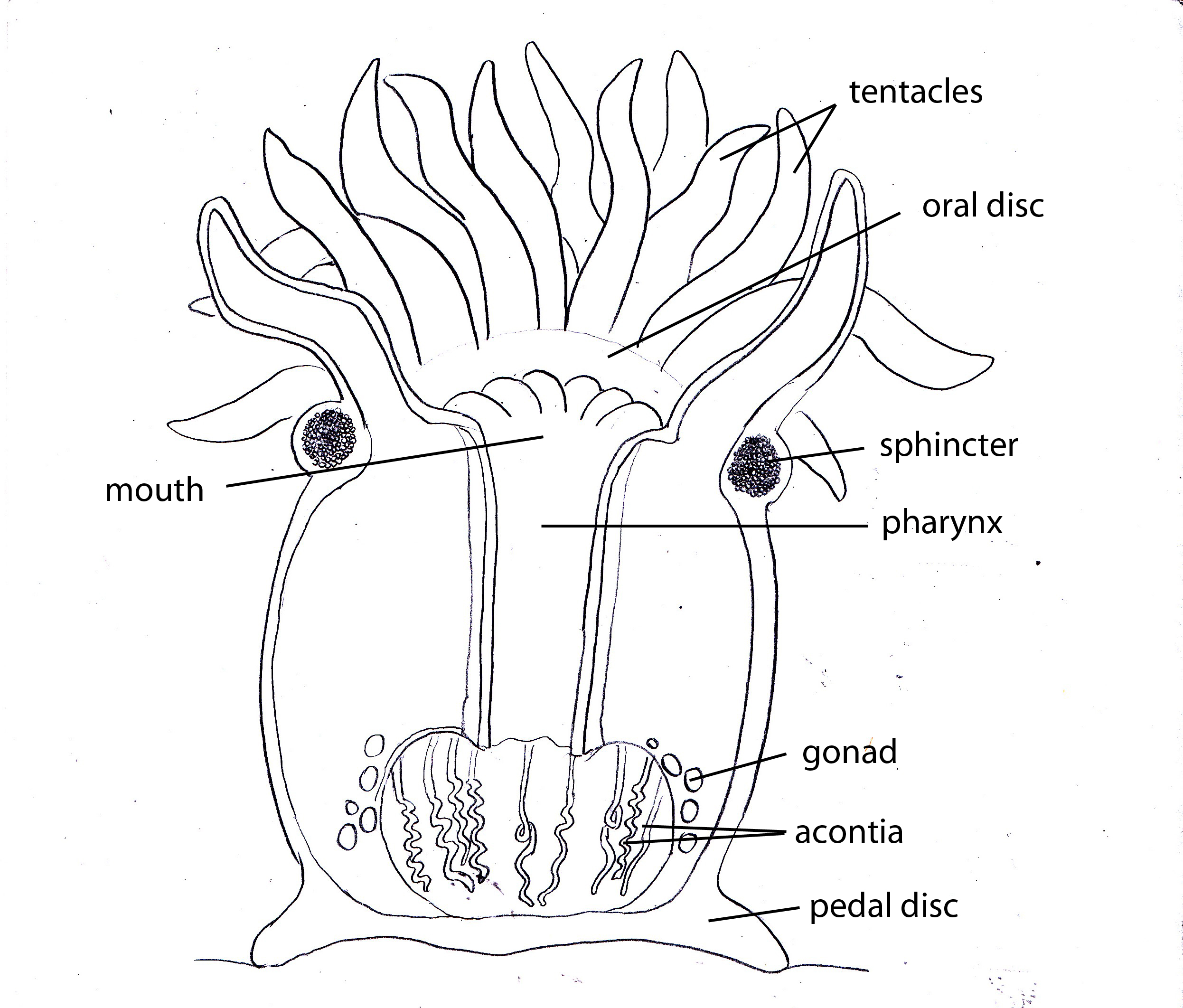 Hydra Well Labelled Diagram Wiring Diagrams For Dummies Of Sea Anemone Engine And Earthworm Rotifer
