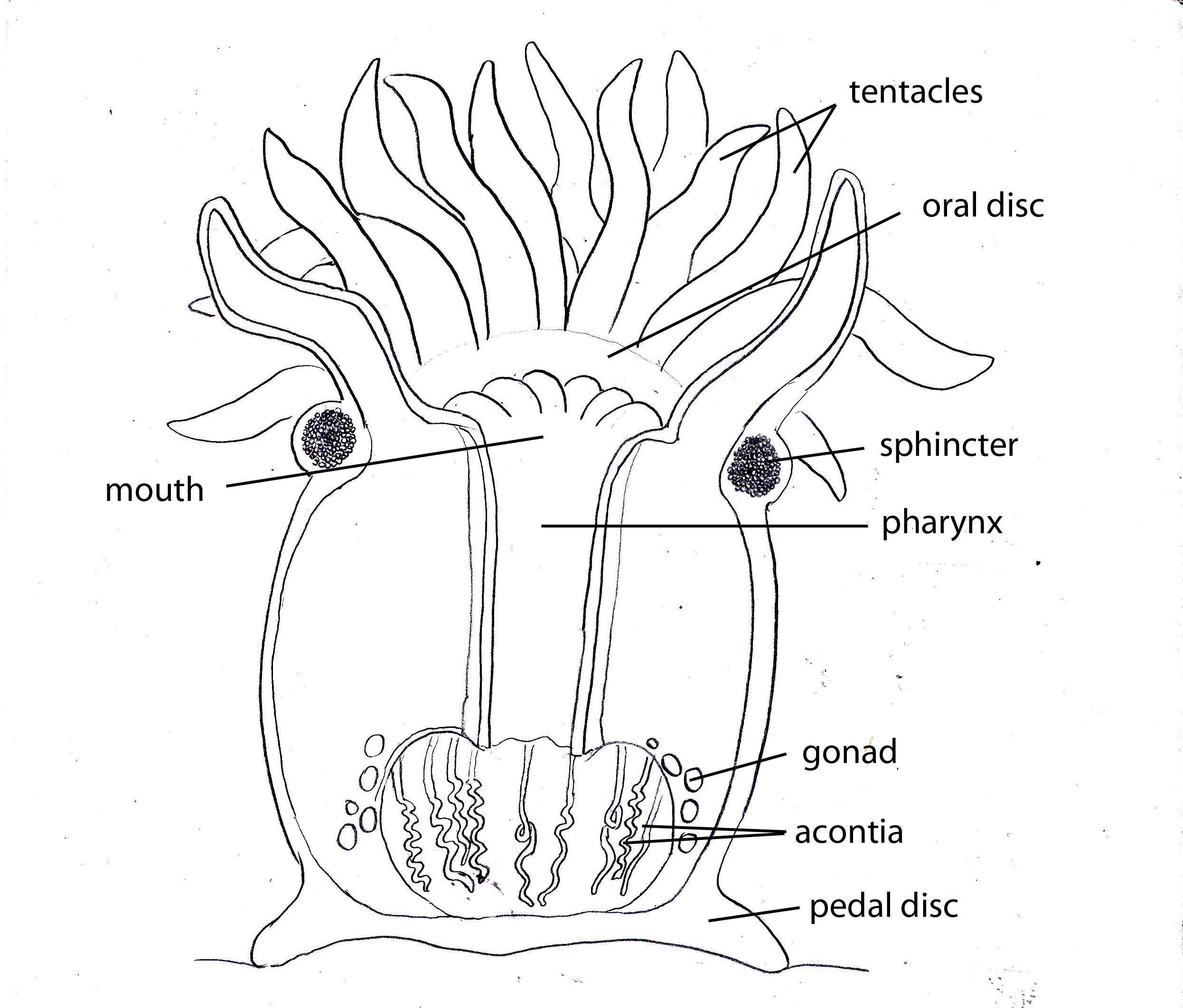 Sea Anemone Anatomy Comousar