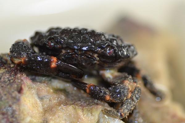 Xena Crabs Rubble crest