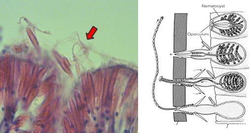 OVA peptides: class I and class II epitopes of ovalbumin ...